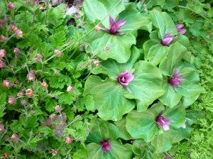 Purple trillium and geum rivale